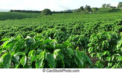 Coffee plantation near Poas or Po?s Volcano in Costa Rica, Central America for export and global market. Agriculture, field on hill, cultivation, farming, crop