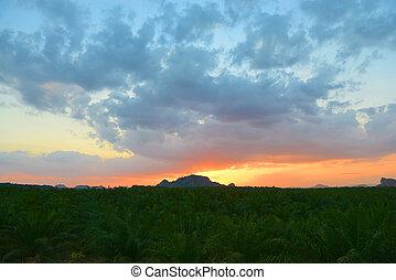 plantation, coucher soleil, palme huile