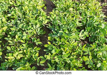 plantation, de, les, arachide, gros plan