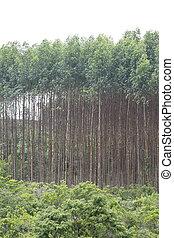 plantation, eucalyptus, brésil
