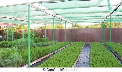 Plantation for growing coniferous seedlings used to restore...