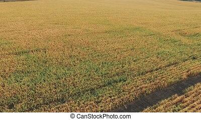 plantation, maïs, vue aérienne