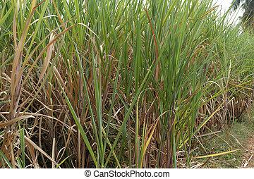 Plantation of a sugar cane