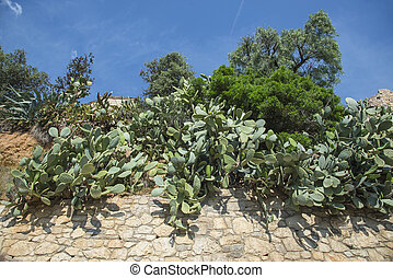Plantation of Cacti Opuntia on the city wall.