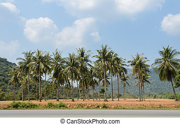 Plantation of coconut palm trees