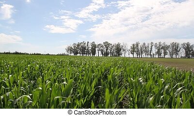 plantation of corn in the Argentine countryside