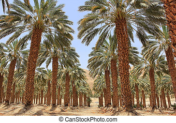 plantation of date palm at kibbutz Ein Gedi, Israel -...