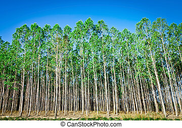 Plantation of Eucalyptus tree for paper industry