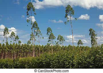 Plantation of eucalyptus trees under a blue sky and white...