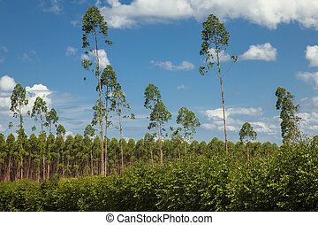 Plantation of eucalyptus trees under a blue sky and white...
