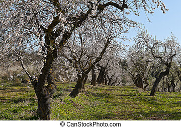 Plantation of Flowering Almond in Early Spring in Spain
