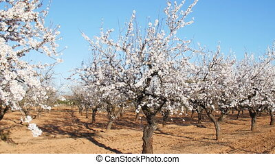 Plantation of flowering almonds in spring