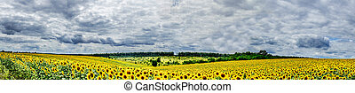 Plantation of golden sunflowers. - Amazing panoramic view...