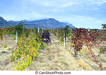 Plantation of grapes in autumn
