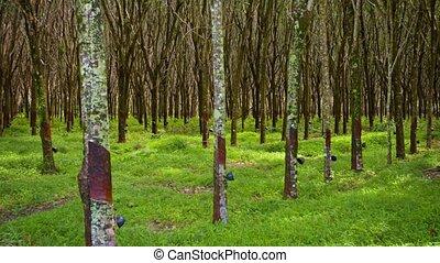 Plantation of Hevea Trees from an Oblique Angle