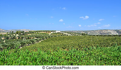 Plantation of olive trees and grapes