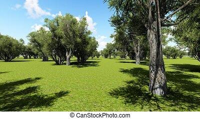 Plantation of olive trees, animation