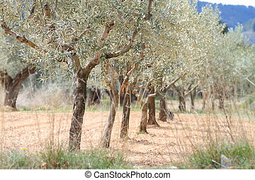 Plantation of olive trees in a row