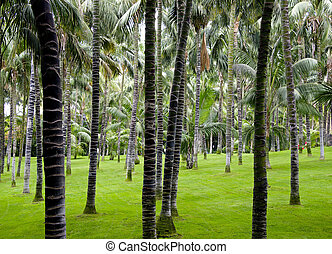 plantation of palm trees
