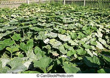 Plantation of pumpkins