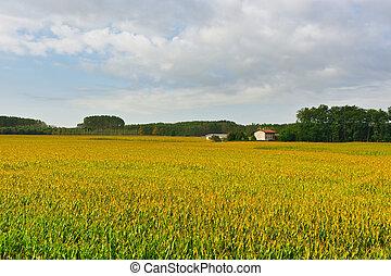 Plantation of Ripe Corn in Piedmont, Italy