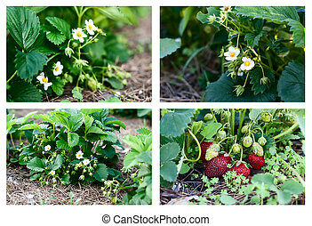 plantation of the strawberry,collec