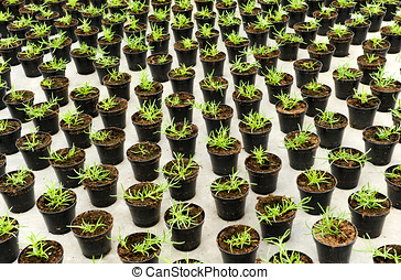 Plantation of young seedlings being propagated in flowerpots...