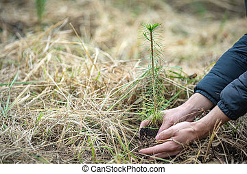 plantation of young trees for forest regeneration after ...