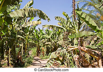 plantation, paume, banane, arbres