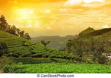 plantation, thé, coucher soleil, paysage
