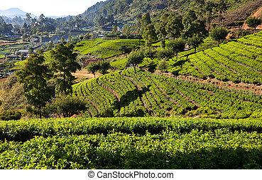plantation, thé