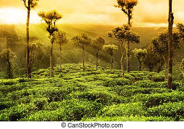 plantation, thé, paysage