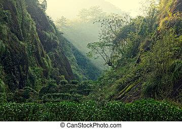 plantation, thé, porcelaine, province, fujian