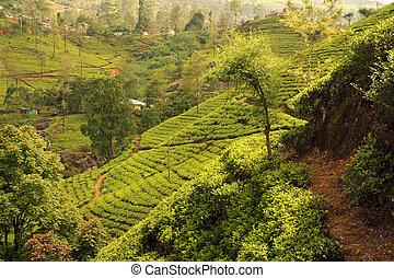 plantation, thé, sur, coucher soleil, paysage