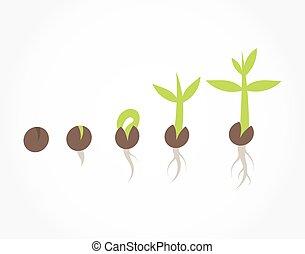 plante, étapes, graine, germination