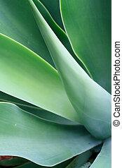 plante, aloès