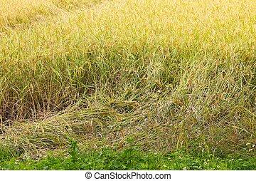 plante, because, bas, fort, tomber, riz, vent