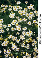 plante, camomille, pré, buisson, épais, fleurs, blanc