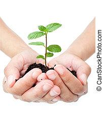 plante, dans, mains