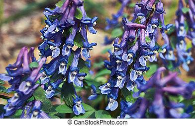 plante, dense, (corudalis, corydalis, solida)., fleurir
