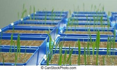 plante, expérimental, blé, vulgare, science, pot fleurs, matériel, recherche, technologically, orge, génétique, culture, serre, seedlings, durum, hordeum, modèle, scientifique, triticum