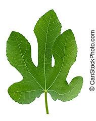plante, feuille, grand arbre, isolé, figue verte, macro