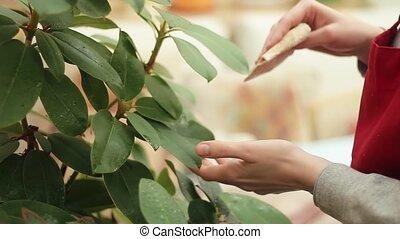plante, feuilles, serviette, nettoie, serre, femelle transmet