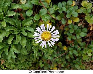 plante, fleur, feuilles, vert jaune, blanc