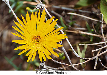 plante, fleur, (lampranthus, midi, haut, glace, fin, glaucus)