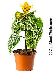 plante, floraison, pot fleurs, isolé, aphelandra, blanc