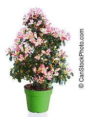 plante, floraison, pot fleurs, isolé, blanc vert, azalée