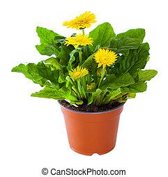 plante, floraison, pot fleurs, isolé, jaune, white., gerbera
