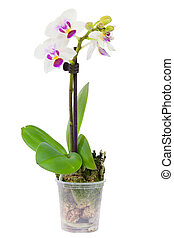 plante, floraison, pot fleurs, isolé, petit, blanc, orchidée
