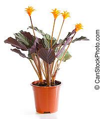 plante, floraison, pot fleurs, isolé, white., calathea
